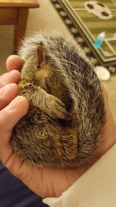 cute squirrel sleeping in human's hand