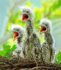 Green Heron chicks..so darn cute