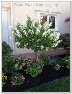 Limelight Hydrangea Tree Form – front yard ideas with porch Landscaping Shrubs, Small Front Yard Landscaping, Front Yard Design, Landscaping With Rocks, Small Front Yards, Hydrangea Landscaping, Country Landscaping, Landscaping Software, Front Yard Gardens