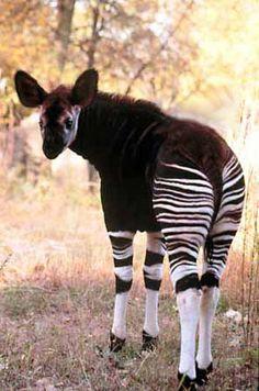 A young Okapi, related to the giraffe.