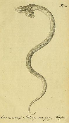 From Herrn de la Cepede's Naturgeschichte der Amphibien, century. Reptiles, Tumblr Tattoo, Illustration Art, Illustrations, Occult Art, Desenho Tattoo, Snake Tattoo, Medieval Art, Gravure