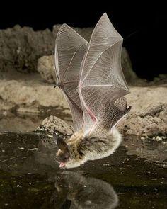 Bat ©Michael Durham #WildLives