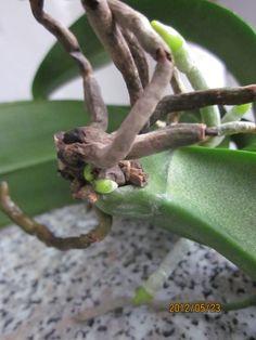 Orchidea: Az örök probléma... Gyökérrothadás I. rész... Art, Art Background, Kunst, Performing Arts, Art Education Resources, Artworks