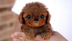 how cute is this puppy. ...If he stayed this lil and cute I would definitely get it