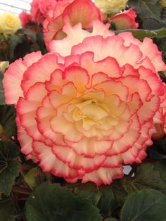 Award winning Begonia flower from The Southport Flower Show Southport Flower Show, Begonia, Gardening, Rose, Flowers, Plants, Pink, Lawn And Garden, Plant