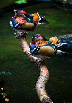 two Mandarin Ducks