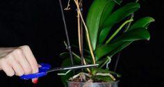 Miért nem virágzik az orchidea? Az orchidea egy trópusi éghajlatú növény, ha olyan környezetben neveljük, amely megfelelő a számára, akkor hosszú ideig virágozhat