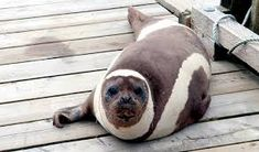 Ribbon Seal (Histriophoca Fasciata)