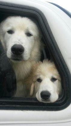 Pyrrenees Mountain dogs