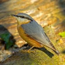 """Résultat de recherche d'images pour """"птица каштановые Finch"""""""