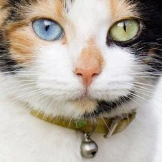 Pretty Calico cat with Heterochromia eyes Pretty Cats, Beautiful Cats, Animals Beautiful, Cute Animals, Pretty Kitty, Crazy Cat Lady, Crazy Cats, I Love Cats, Cool Cats
