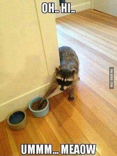 Sneaky raccoon caught stealing!