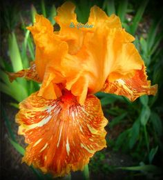 ORANGUTAN ORANGE - Tall Bearded Iris