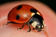 Image result for Ladybug Face Close IP