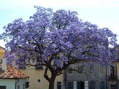 La revolución del Kiri, el árbol que puede salvar al mundo