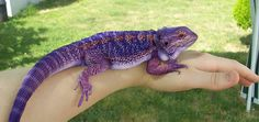 purple bearded dragon - Google Search