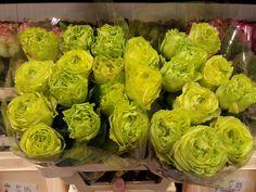 #Rose #Rosa #GreenGothica; Availalbe at www.barendsen.nl