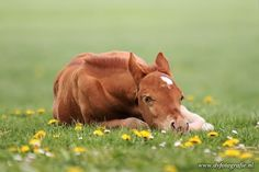 Baby foal laying in the Dandelions.
