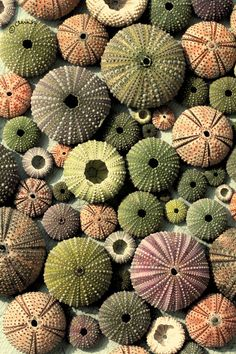 Sea Urchin shells, shells of all descriptions, sea glass and any kind of bounty found on the shore