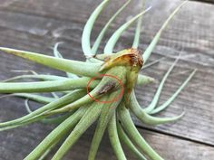 What's Wrong With My Air Plant Series: Brown Leaf Tips - Air Plant Design Studio Air Plants Care, Dry Plants, Plant Care, Water Issues, New Environment, Article Design, Yellow Leaves, Plant Species, Pretty Green