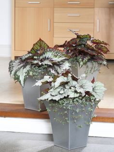 Pair Begonias with Trailing Plants in Containers