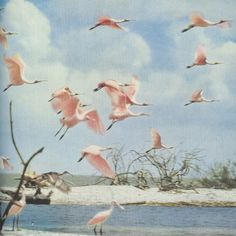 Spoonbills in Florida 1954 National Geografic • Unknown Ph