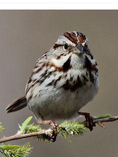 Song Sparrow, Melo-spiza melodia: Back Yard Biology, bybio.wordpress.com