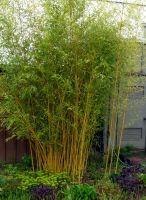 Bambuszkerteszet lapja, phyllostachys bumbusoides Castillon