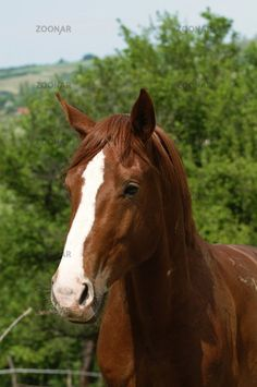 gidran horse