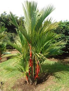 These Best Palm Trees in Florida are going to make your garden stand out elegantly!