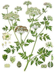 Cicuta maggiore Conium maculatum – Cicuta virosa Cicuta minore o acquatica