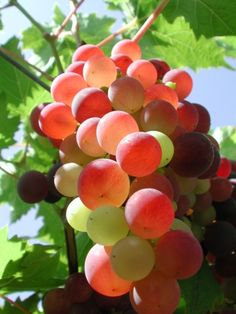 Translucent grapes have subsurface scattering implying the sun is very high in the sky Fruit And Veg, Fruits And Vegetables, Fresh Fruit, Beautiful Bugs, Beautiful Fruits, Art Du Vin, Dragon Fruit Tree, Fruits Photos, Fruit Photography