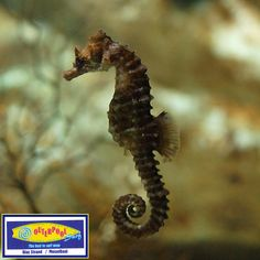There are 30 to 40 different kinds of seahorses, but only five of these have been seen around the southern African coastline.The Knysna seahorse is the best known, and is the only seahorse that is endangered. Knysna seahorses are found only in the Knysna, Keurbooms and Swartvlei. They are green to brown in colour and grow to about 12cm in length. Twenty million are caught every year and used for medicinal purposes #KnysnaSeaHorses #Endangered #SouthAfrica