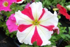 Petunia hybrides 'Parade Rose Etoilé' - Aucun non commun renseigné | Toutes les plantes avec Florum