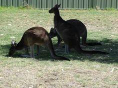 Bunbury Wildlife Park Bunbury Australia, Wildlife Park, Western Australia, Kangaroo, Westerns, Floral, Animals, Baby Bjorn, Animaux