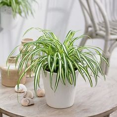 How To Grow Spider Plants Indoors Successfully & Its Care Spider Plant Care Indoors Asparagus Fern, Coffee Table Plants, Air Cleaning Plants, Chlorophytum, Plants For Hanging Baskets, Growing Plants Indoors, Decoration Plante, Living Vintage, Spider Plants