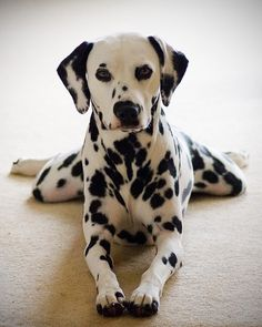 I have wanted a dalmatian forever. If anyone gets me one, I will seriously love you foreverrr.<3