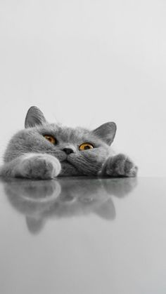 ↑↑TAP AND GET THE FREE APP! Animals Cute Cat Grey Funny British Shorthair Kitty with Fat Cheeks Meaw Reflexion Unicolor HD iPhone 6 plus Wallpaper