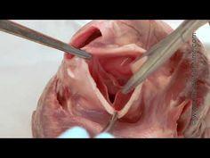 Cardiac Anatomy, part 1