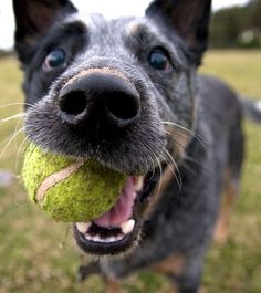 This is the perfect picture of a cattle dog <3 I have one named Syrus...sooo cute!