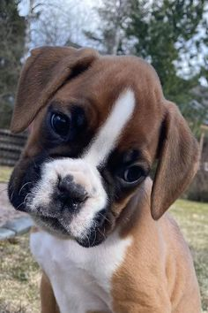Boxers were bred from a now-extinct breed known as the Bullenbeisser (bull-biter), a massive breed that also influenced bulldogs and mastiffs. Baby Boxer Puppies, Boxer Dog Breed, Cute Dogs And Puppies, Baby Dogs, Pet Dogs, Doggies, Boxer Bulldog, Jolie Photo, Dog Pictures