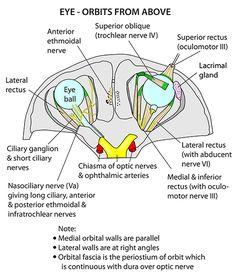 1000+ ideas about Orbit Anatomy on Pinterest