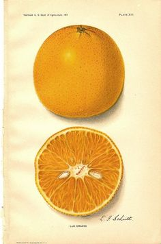 Vintage 1913 Color BOTANICAL ORANGE PRINT of Lue Orange from the Yearbook us Dept of Agriculture