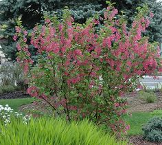 Flowering Red Currant Bush - serves two purposes, privacy hedge and plant companion to our fruit trees...