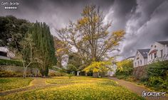 It's that time of year again in Candie Gardens when the oriental Maidenhair tree's leaves turn yellow & drop off scattering across the lawns like a hoard of golden coins