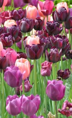 Tulips, Washington S Flowers Garden Love - via: flowersgardenlove: - Imgend
