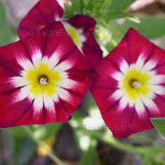 Convolvulus tricolor RED 30 seeds DWARF ENSIGN MORNING GLORY Blooms All Day SALE