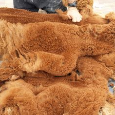 So much beautiful alpaca fleece! Tracy's herd of alpacas all have their annual haircut and we are planning the next batch of Purl Alpaca Designs' yarn.  #alpaca #knitting #yarn