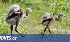 V plzeňské zoo se vylíhli nandu pampoví, vajíčka vyseděl samec