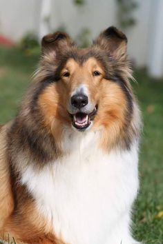 Collie in Anticipation. Smooth Collie, Rough Collie, Collie Dog, Sheep Dogs, Pet Dogs, Dogs And Puppies, Collie Breeds, Dog Breeds, Most Beautiful Dogs